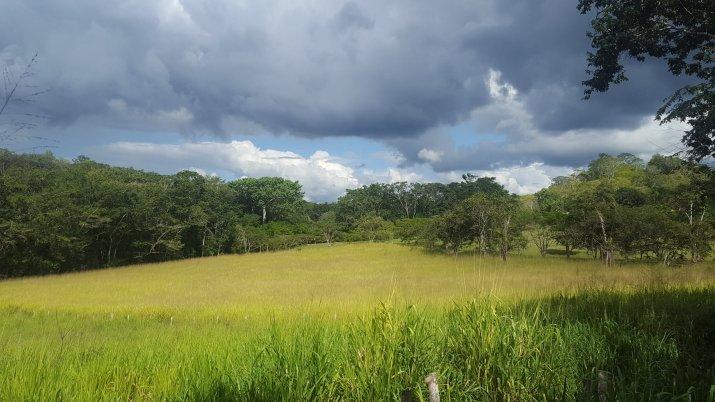 A Belizean Cattle Field