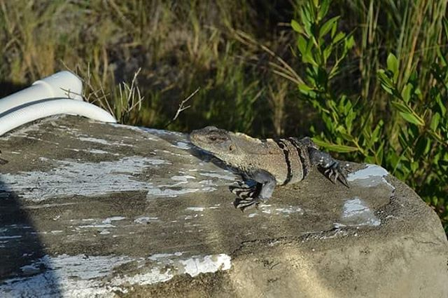 Are you as happy as a sunbathing lizard?  #SecretBeach #AmbergrisCaye #BZE #Belize #Beach #Iguana #Lizard #Chillin #Belize #Ambergris #IGTravel  #Grassfed #IGNature #InstaTraveling #Animals #Wildlife #Belizean #Sun  September 2017